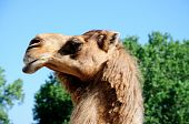picture of hump day  - a camel raises his head high up to the sky on a sunny day - JPG