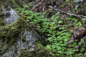picture of sorrel  - Wood sorrel (Oxalis) plants growing on the ground.