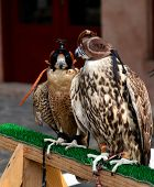 stock photo of falcons  - Hunting falcons Abu Dhabi United Arab Emirates - JPG