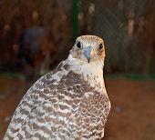 foto of falcon  - Hunting falcons Abu Dhabi United Arab Emirates - JPG
