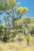 image of australie  - Australian native bush with gumtrees ti trees and grass trees under clear blue sky - JPG