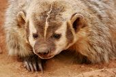 foto of badger  - Portrait of American badger  - JPG