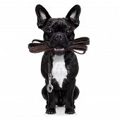 pic of dog-walker  - french bulldog dog waiting to go for a walk with owner leather leash in mouth isolated on white background - JPG