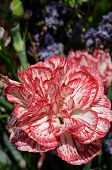 stock photo of carnation  - Pink edged carnation with a white centre - JPG