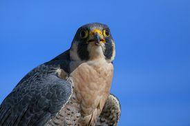 picture of falcons  - Peregrine falcon  - JPG