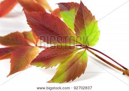 Multicolor Autumnal Grapes Leaves (parthenocissus Quinquefolia Foliage)