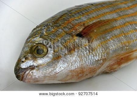 Salema porgy (sarpa salpa)