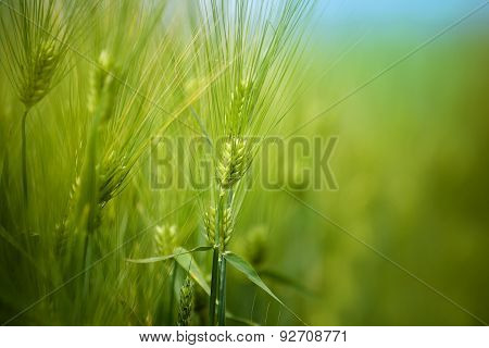 Young Green Wheat Crops Field Growing In Cultivated Plantation