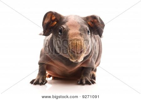 skinny guinea pig isolated on the white background