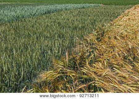 Background With Wheat 16