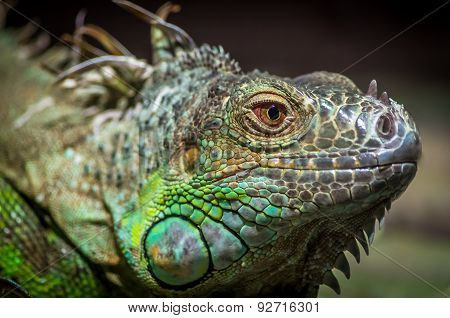 Close-up Of A Male Green Iguana (iguana Iguana).