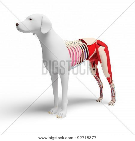 Dog Anatomy Cross-section - Isolated On White