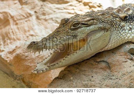 Close-up Of Young Alligator