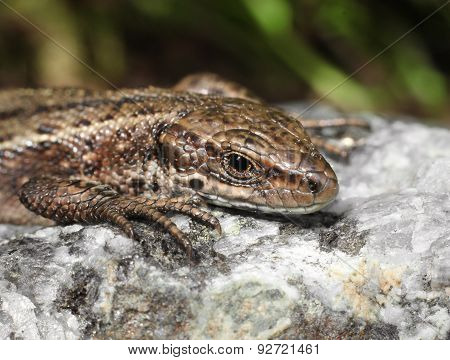 Viviparous Lizard On Warm Stone