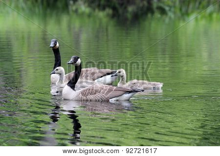 Goose Family Group