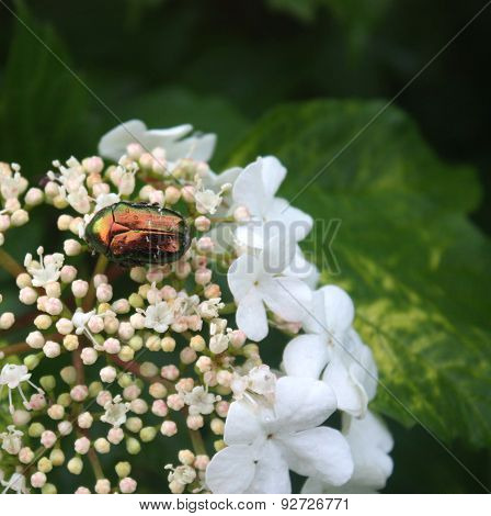 Viburnum Beetle And Firefly