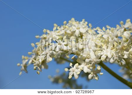 Inflorescence Of Elderberry