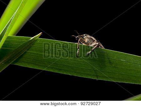 Pest Beetle