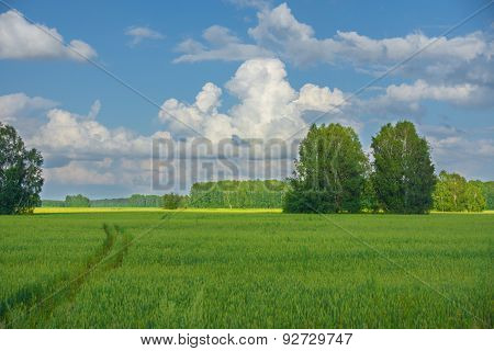 Green Field With Birches And Car Track