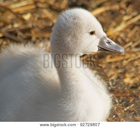 Adorable little baby Mute Swan resting in her nest
