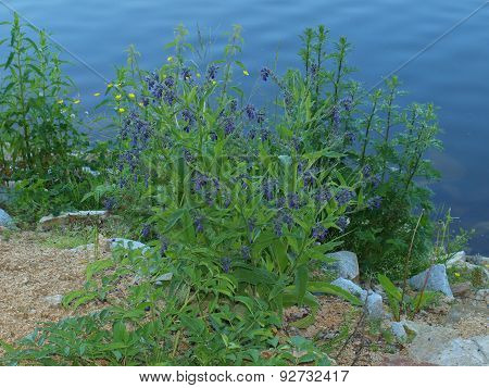 Flowers On The Shore Of The Pond, South Bohemia