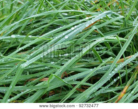 Water Drops On Grass, South Bohemia