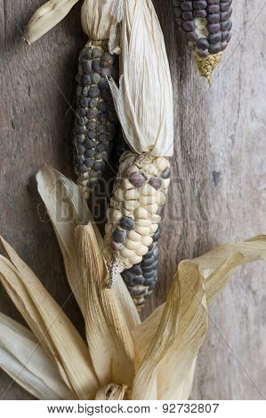 Waxy Corns Hang In House