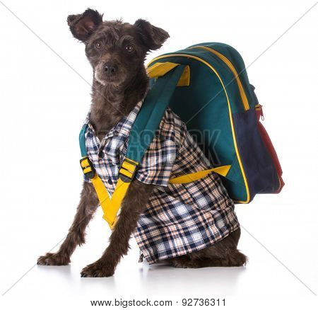 dog obedience - mixed breed wearing plaid shirt and backpack on white background