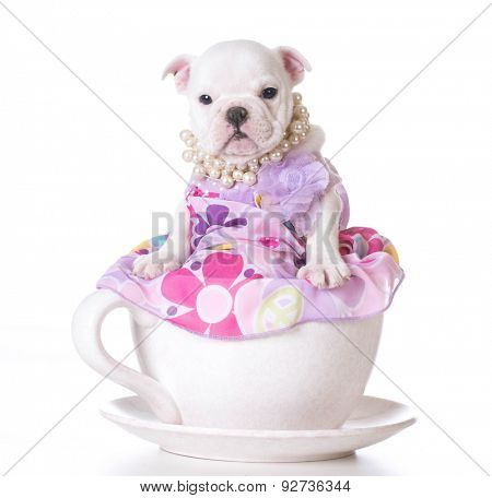 cute puppy - english bulldog female puppy sitting inside a teacup on white background