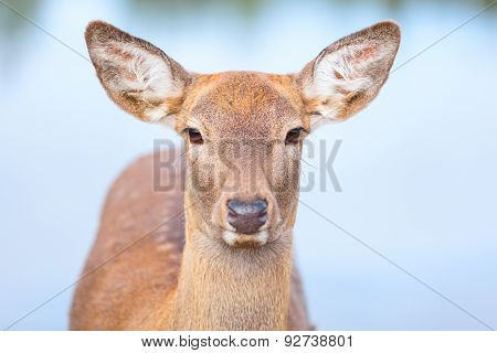Female Roe deer portrait
