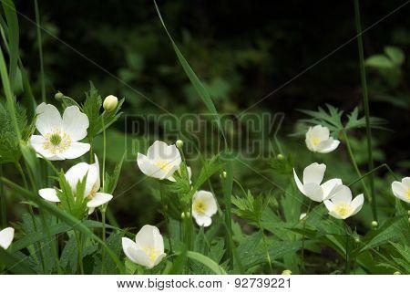 Wild Strawberry In Bloom