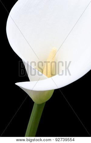 White Arum Lily Close-up From The Front
