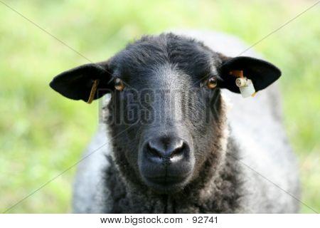 Closeup Of A Sheep.