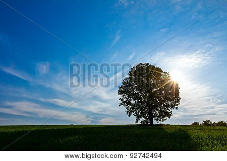 Lonely Big Tree With Backlight