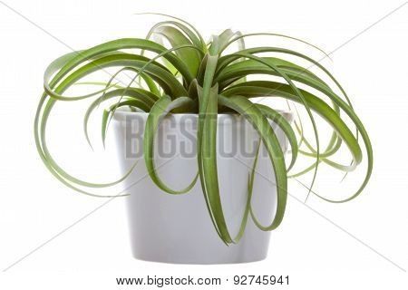 Tillandsia On The White