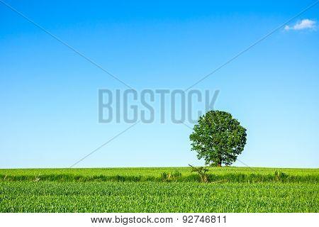 Lonely Big Tree