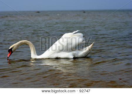 Swan At The Beach.