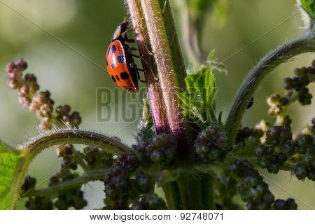 Macro Ladybird