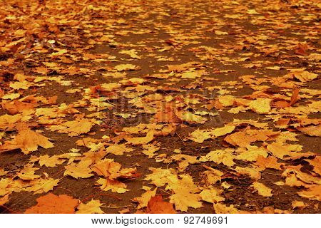 Autumn Loose Road With Yellow Leaves Of Maple