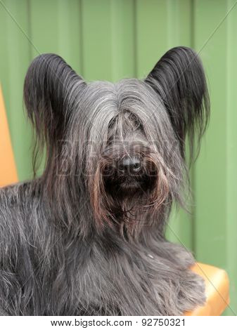 Detail Of Funny Skye Terrier