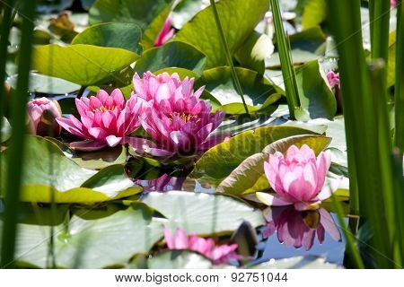 Water Lily, Nymphaea,