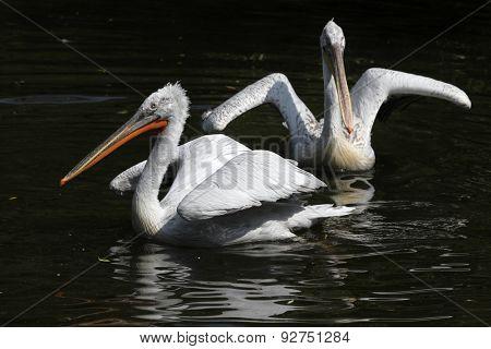 Dalmatian pelican (Pelecanus crispus).