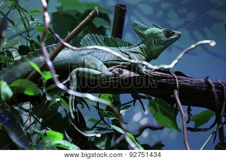 Plumed basilisk (Basiliscus plumifrons), also known as the green basilisk.