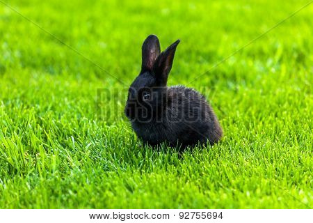 Black Rabbit, Rabbit on the lawn Rabbit on the green grass