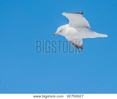 Ring-billed Seagull