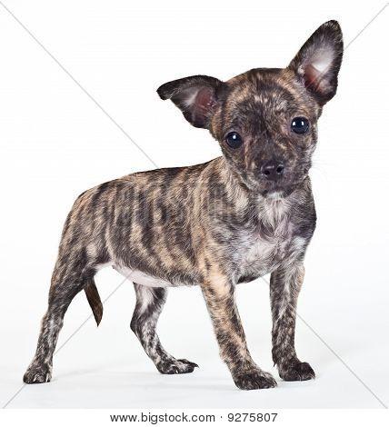 Brindle Puppy