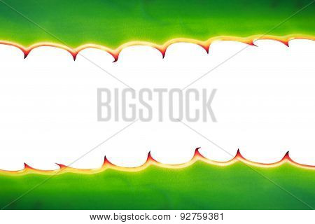Close Up Thorn Of Agave Plant Isolated On White