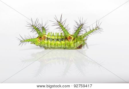 Stinging Nettle Slug Caterpillar Of Phocoderma Velutina Moth