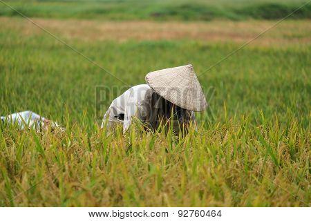 Vietnam farmer havesting rice on rice field
