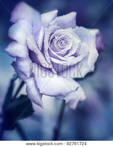 Vintage rose at night, beautiful gentle flower with raindrops under the moonlight, dreamy fantasy garden